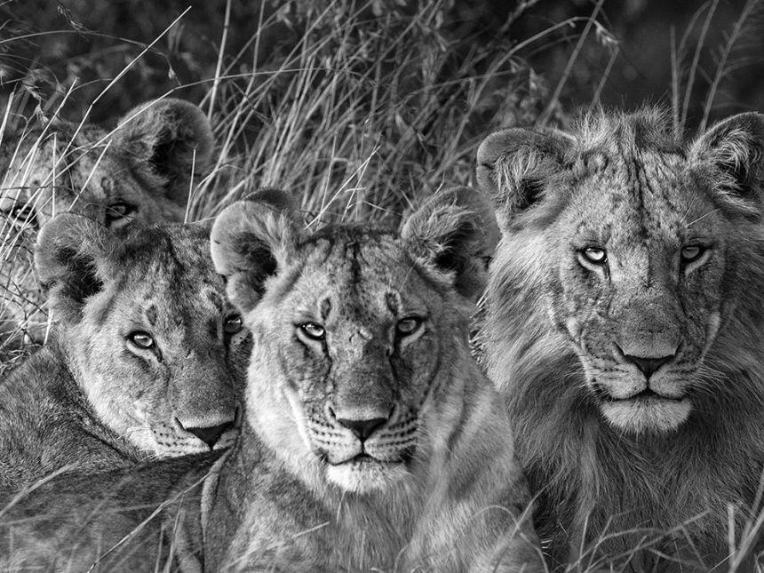 lion-pride-maasai-mara_91740_990x742
